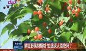 鲜红野果似樱桃 如此诱人能吃吗?