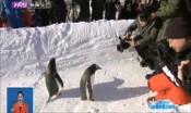 """極地動物""""零距離""""    """"網紅企鵝""""帶游客玩轉冰雪季"""