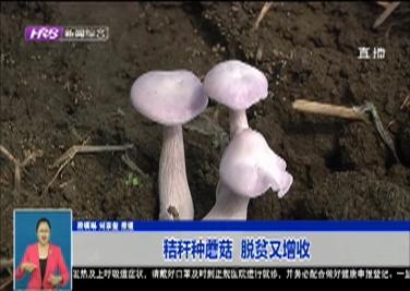 秸秆种蘑菇  脱贫又增收