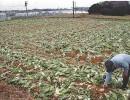 日本菜价大涨小偷瞄准大白菜 一农户菜地半个月被盗4次