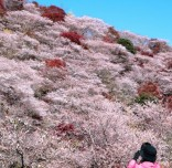 日本丰田市四季樱盛开 与红叶相映成趣