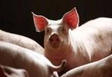 日媒:日本或允许在动物体内培育人体器官