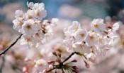 2018年日本各地樱花开放日期预测 东京及九州地区为3月22日