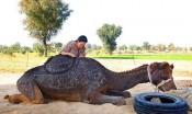 赞!日本理发师在骆驼背上剪出精美花纹