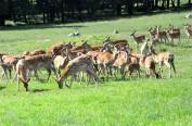 冰城梅花鹿种源供全国