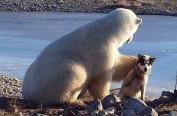 北极熊也想养宠物 蹲坐岸边爱抚萌犬(组图)