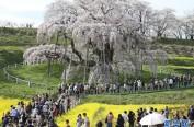 日本福岛千年樱花树开花 引大批游客观赏
