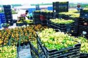 南京海关通关改革提速 日本花卉空运进口只需两天