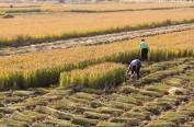 五常稻农引进新技术试验田增产一成多