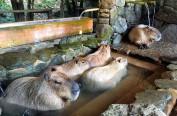 """日本将举行""""水豚泡澡比赛"""""""