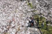 日本大阪染井吉野樱花刷新满开最早记录