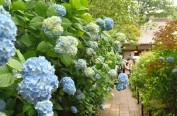 日本进入梅雨季节 北镰仓明月院近3000株绣球花盛开