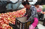 黑龙江番茄热销上海 农民收入300万元