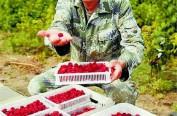"""""""国家级红树莓基地""""硕果盈枝"""