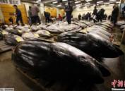 日本蓝鳍金枪鱼捕捞量超过上限 或遭国际社会批评