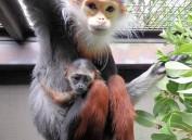 """日本首次公开""""世界第一美猴""""白臀叶猴宝宝"""