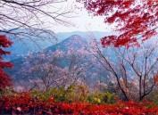 日本:盛开的冬樱与绚丽红叶交相辉映 美不胜收
