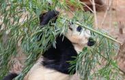 워싱턴 국립동물원, 자이언트 판다 '바오바오' 귀국 여정 올라