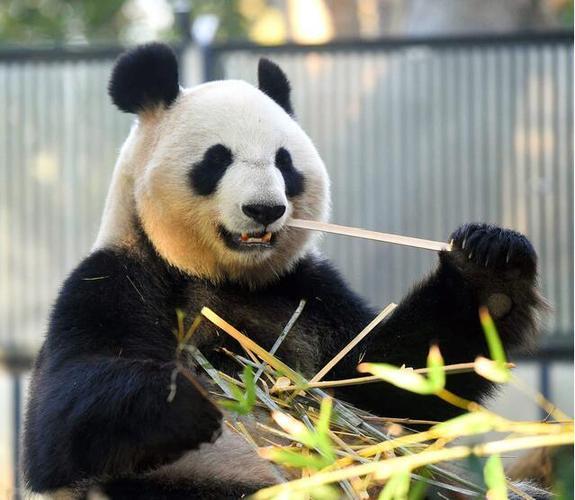 上野动物园推出特别活动 利用熊猫吃剩的竹子为游客制作名片