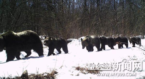 1、2、1,排好队。咱们一家出去玩。这张拍摄于4月3日的照片显示,一个棕熊家庭正在林中游走。森工总局供片 体态健硕、目光如炬、机敏警觉用这些词来形容黑龙江森工系统东京城林业局昨日发布的一段野生东北虎影像再合适不过了。6秒钟的影像中,一只野生东北虎在林间试探着前行,眼睛与镜头相遇,发出金色的光芒,察觉情况有异,它拔腿跑入密林中。 据介绍,此次新整理出来这段红外线相机视频拍摄于2017年5月1日凌晨。这是继2015年1月,东京城林业局首次拍摄到野生东北虎捕食马匹影像后,第五次拍摄到东北虎视频。该局