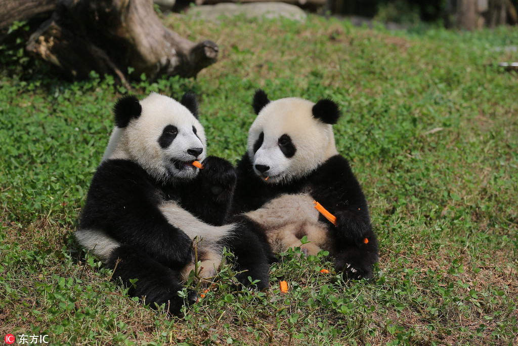 """为""""国宝""""取名 都江堰4只大熊猫宝宝面向全球征名"""
