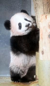 上野动物园熊猫宝预约超24万
