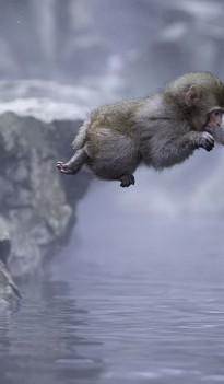 """日本:猴子在地狱谷温泉表演""""跳水"""" 泡澡嬉戏两不误"""
