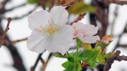 罕见!日本樱花秋季反常开放