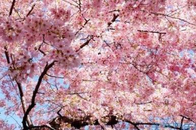 양저우 벚꽃길