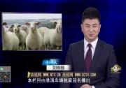 我们在新西兰养绵羊