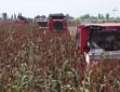【丰收中国】河北景县:10万亩红高粱映红脱贫致富路